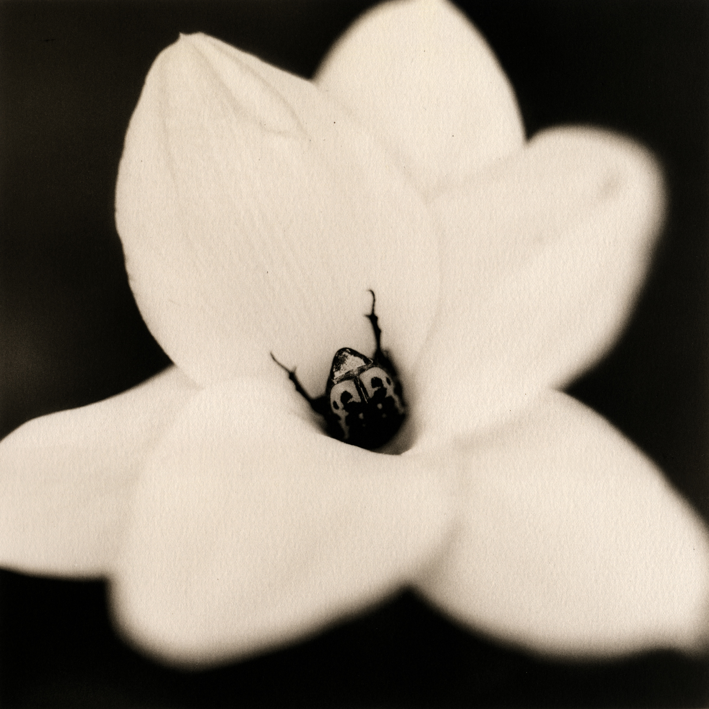 beetle-on-rain_lily,2006.jpg
