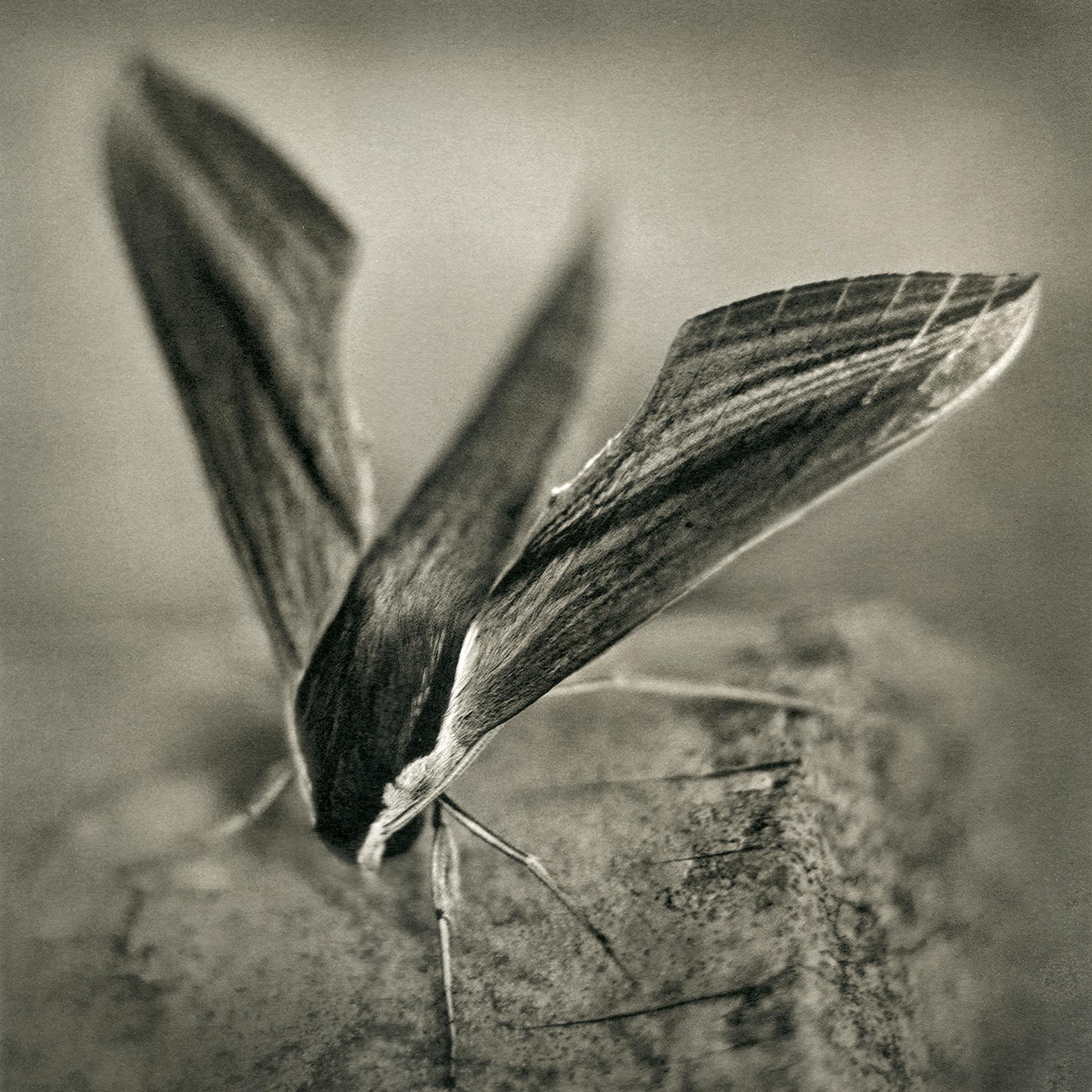 sphinx_moth,2016.jpg