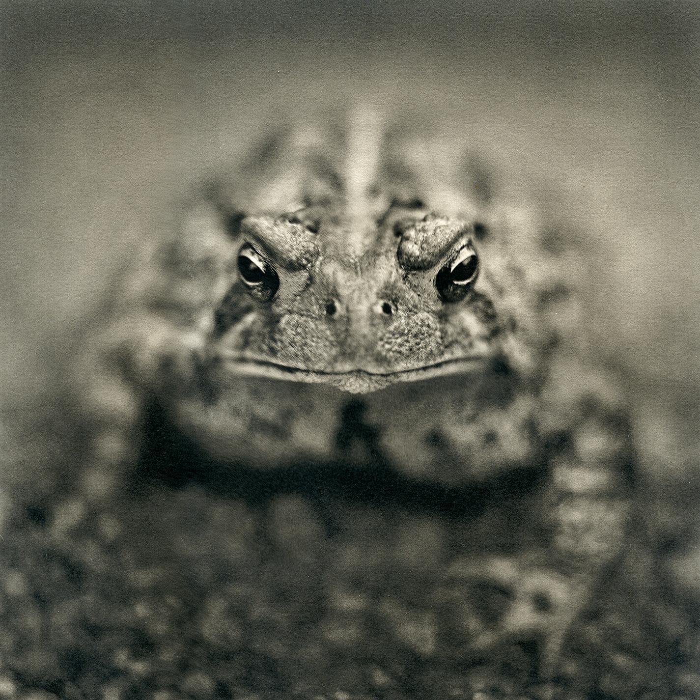 american_toad,2016.jpg