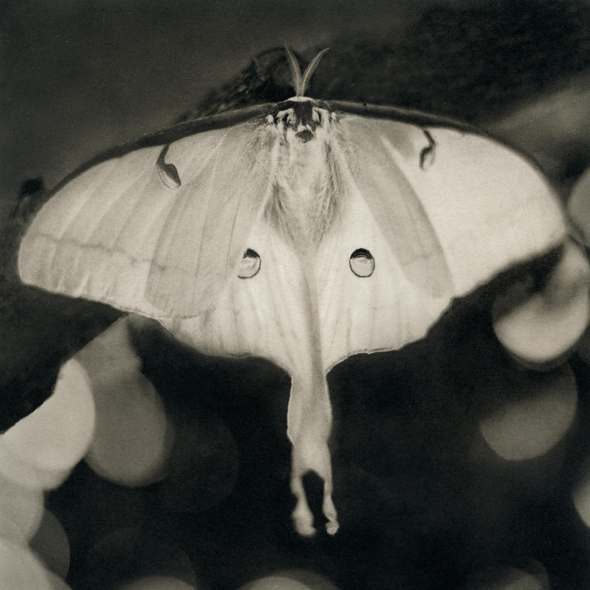 Luna Moth, 2016