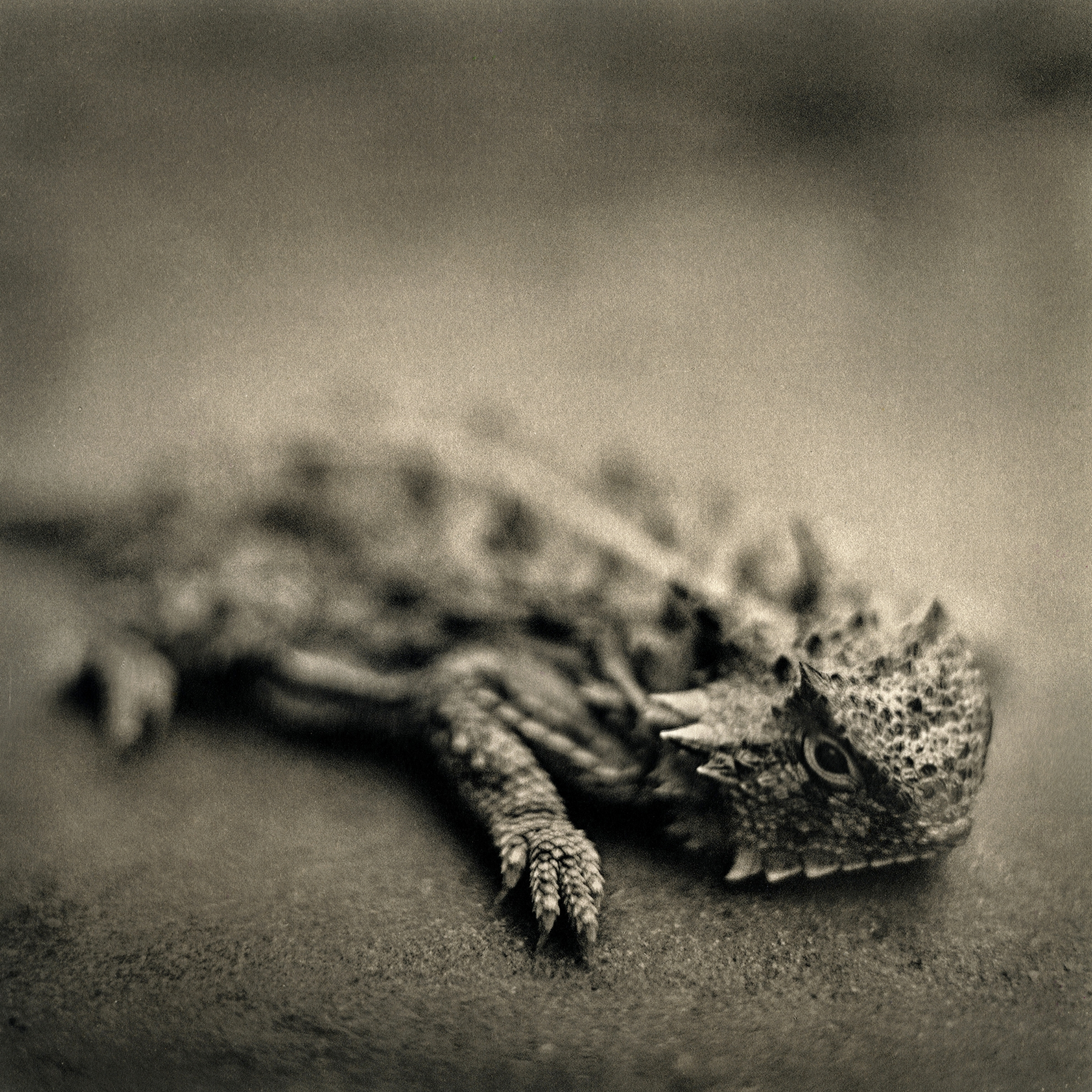Horned Toad, 2015