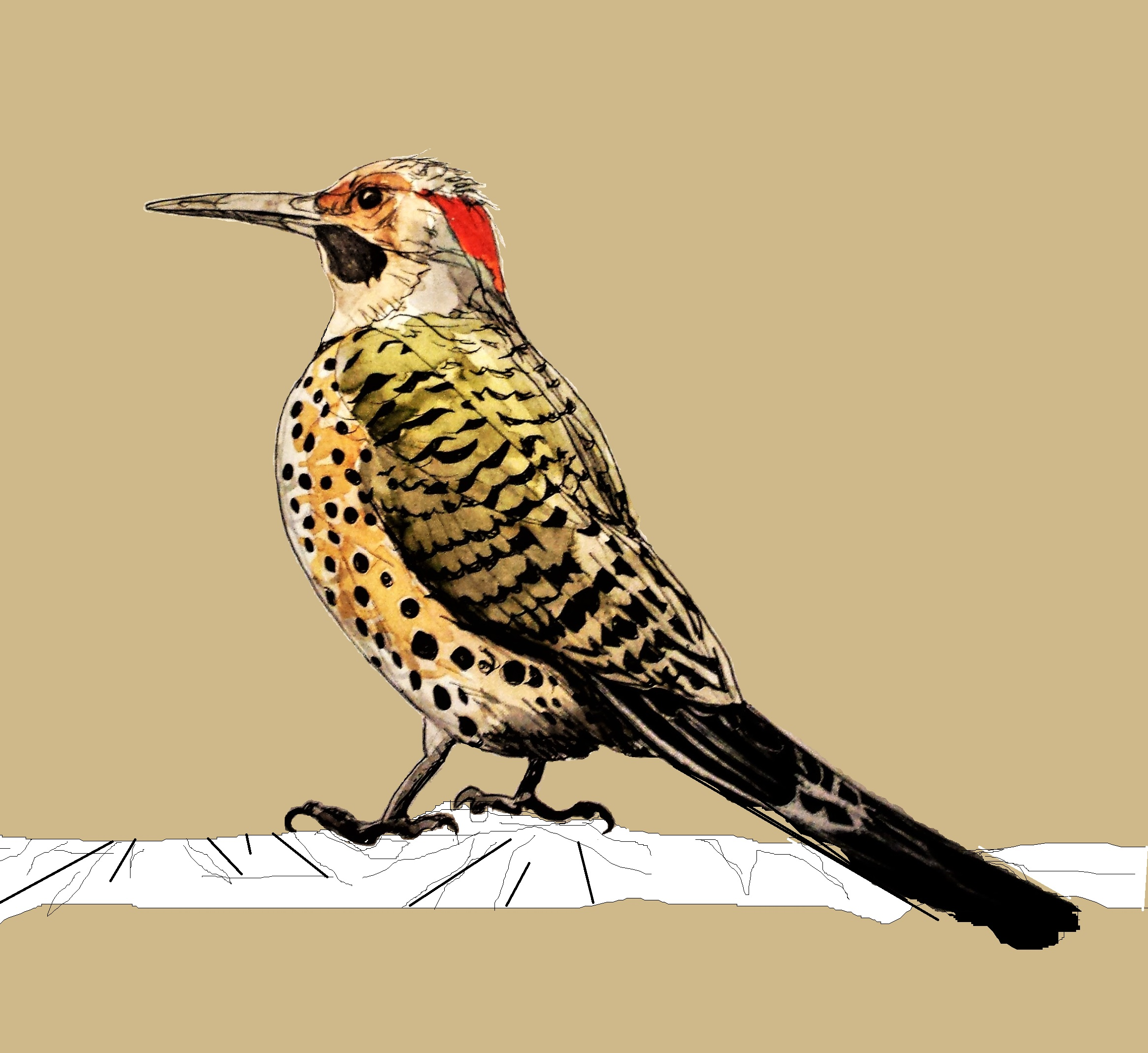 """Northern Flicker""                8""x 11"", mixed media, 2016"