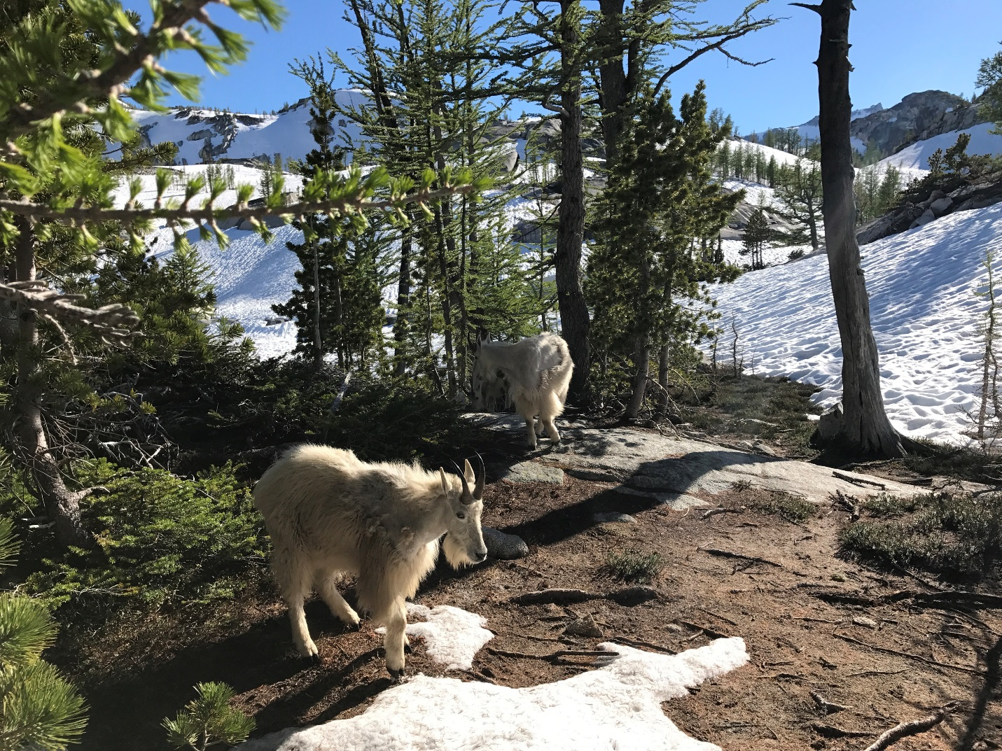 Goats at Leprechaun Lake