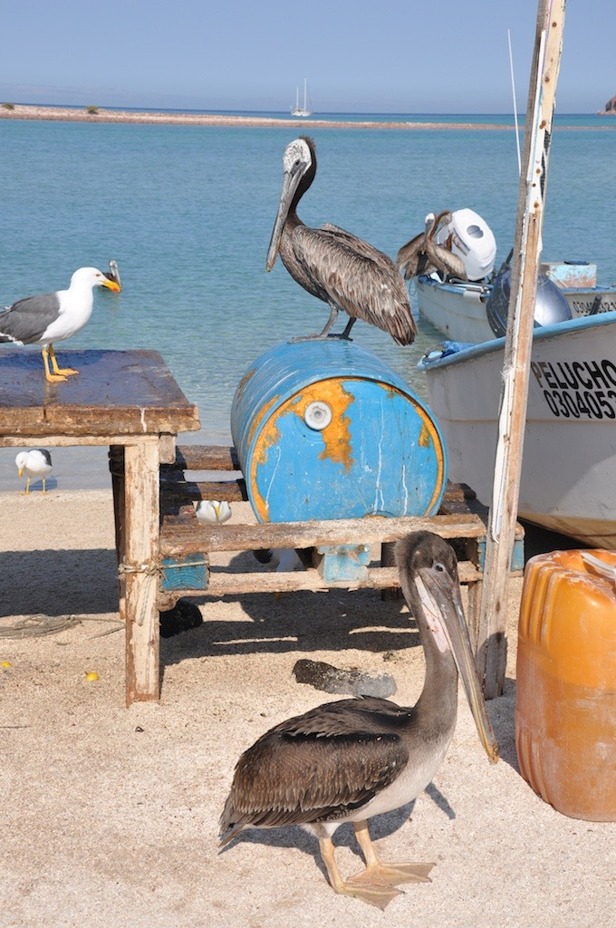 Waiting for the fisherman's catch on Isla Partida.
