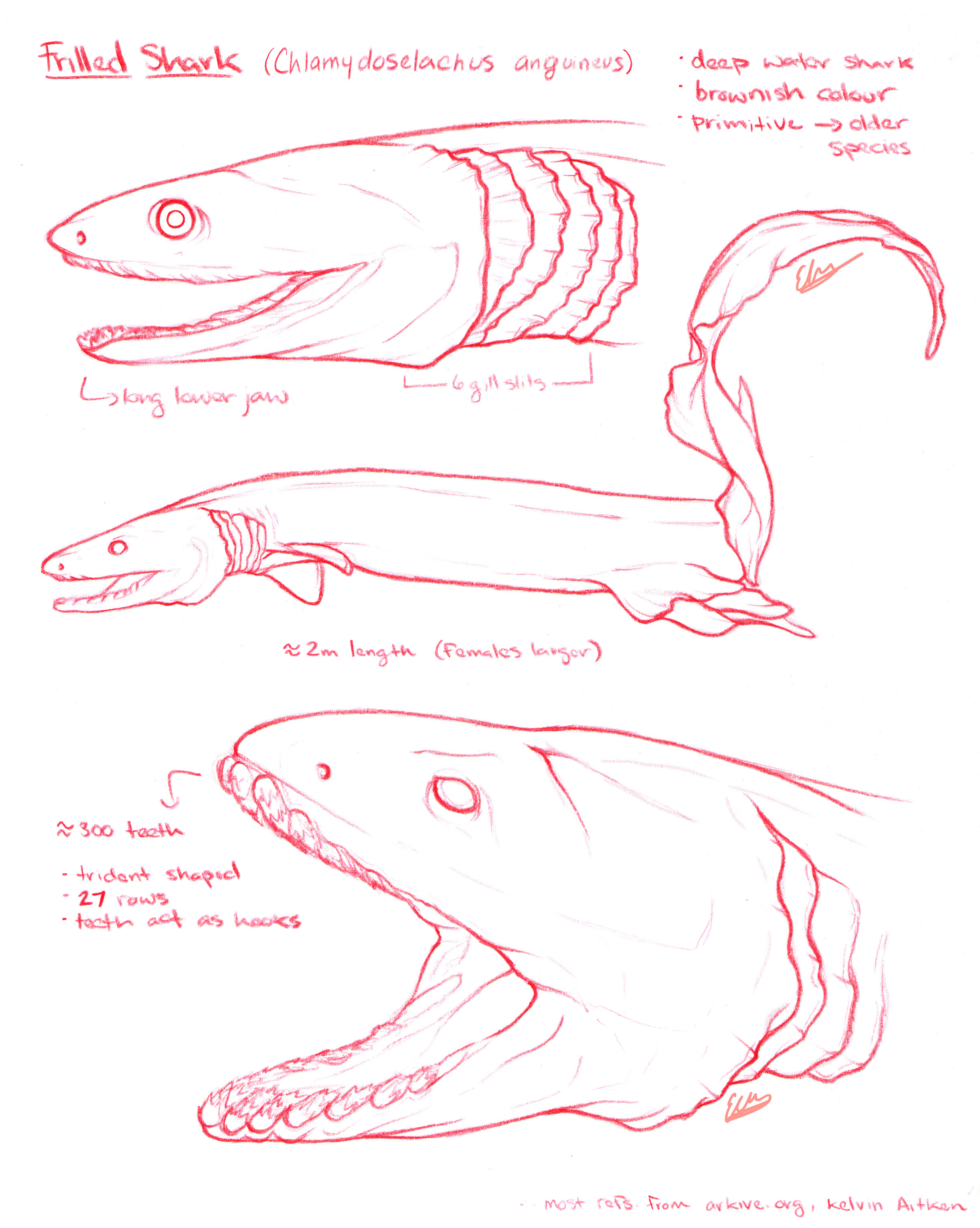 Frilled Shark 1.jpg