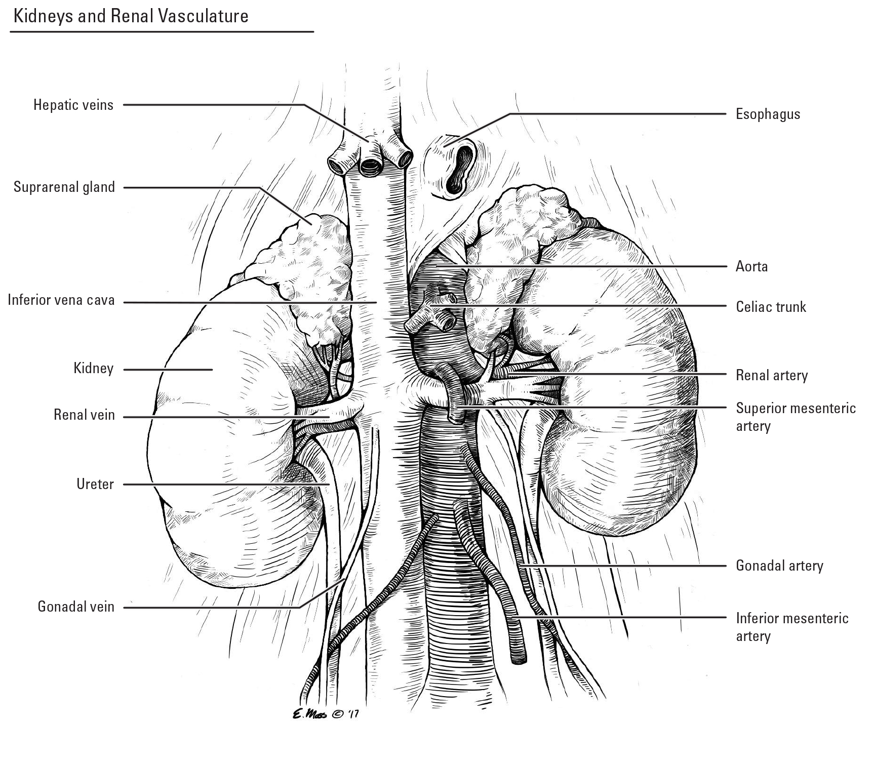 Kidney Vasculature