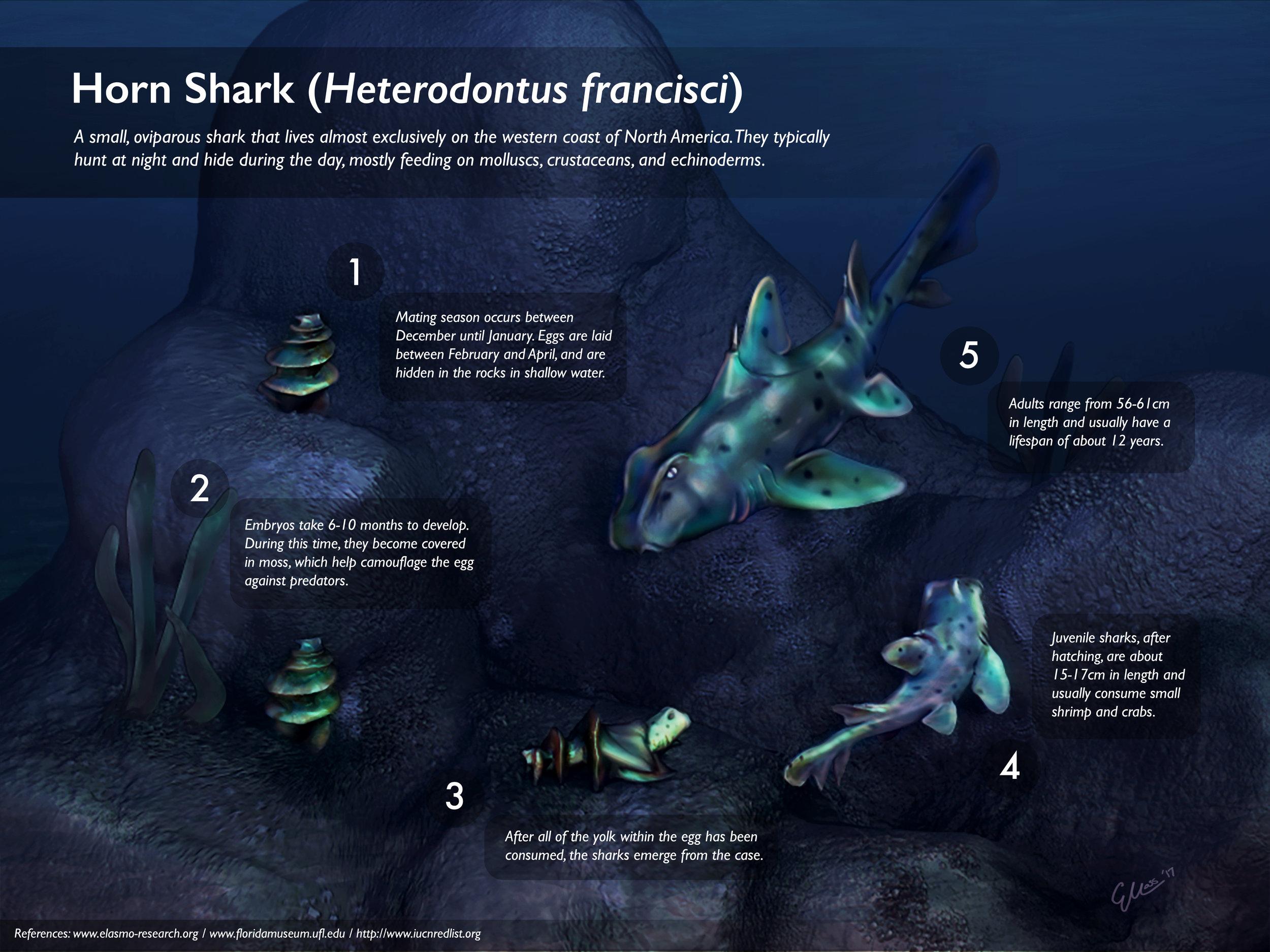 Horn Shark Lifecycle