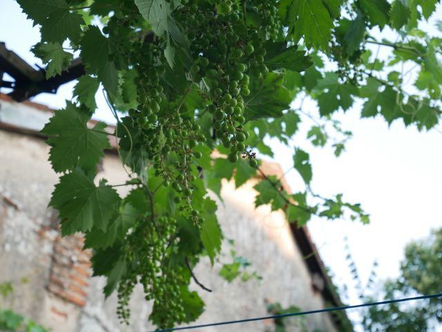 grape vine.jpg