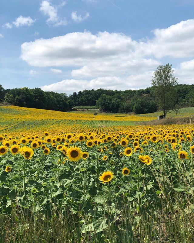 Stunning sunflower fields near our house #villeneuvesurlot #sunshine #sunflowerexplosion