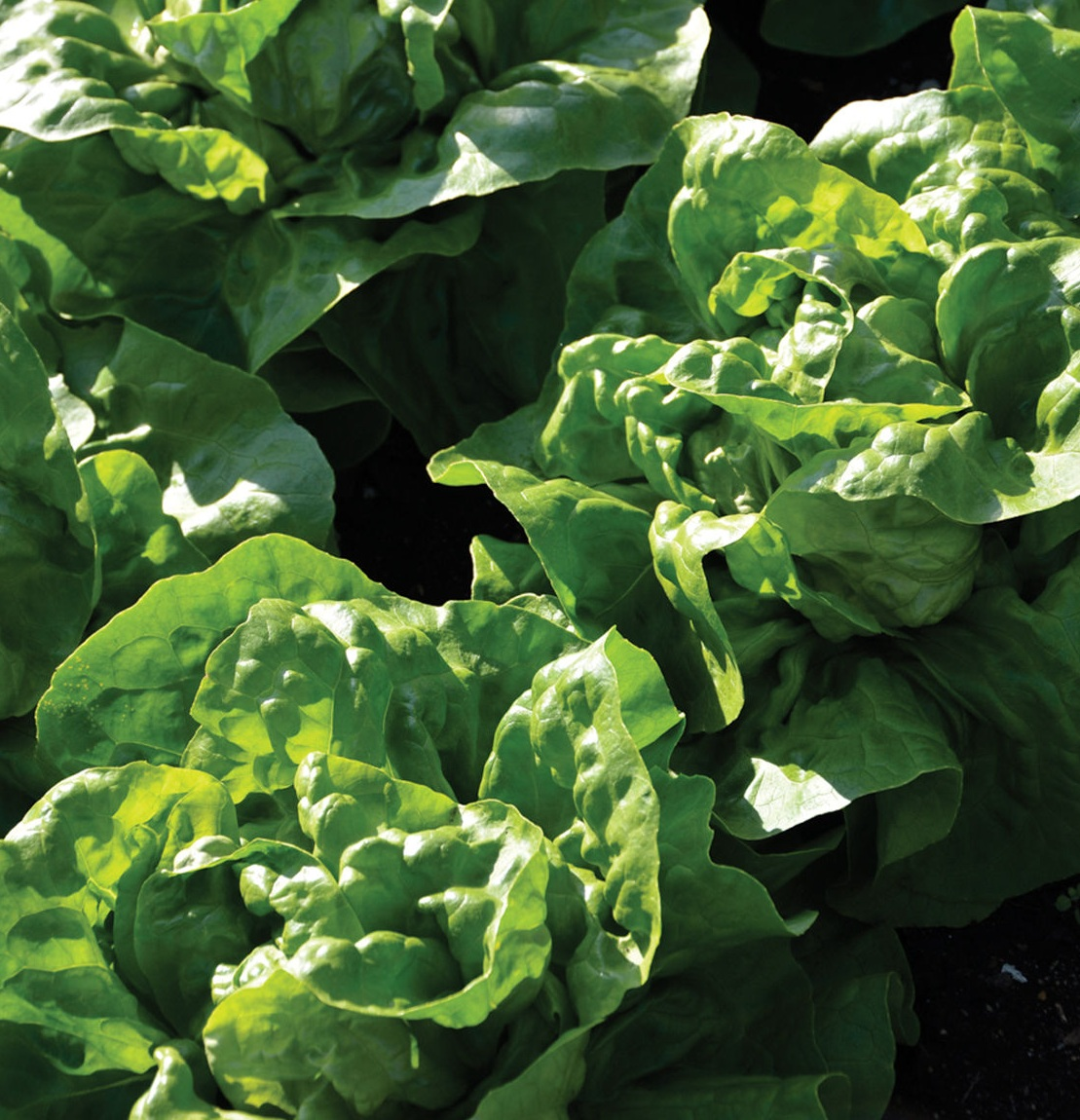 We'll be growing a great deal of Adriana, by Johnny's Selected Seeds. It's able to withstand summer heat - a major plus for us, especially since we're ramping up lettuce production. In past seasons, we've used loose leaf lettuce, but this year, we're converting to lettuce heads.