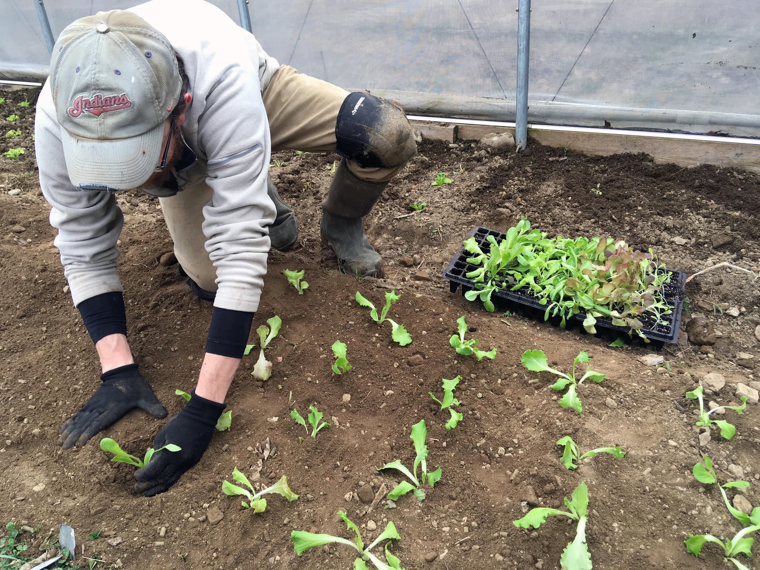 Jason plants lettuce in the little high tunnel.