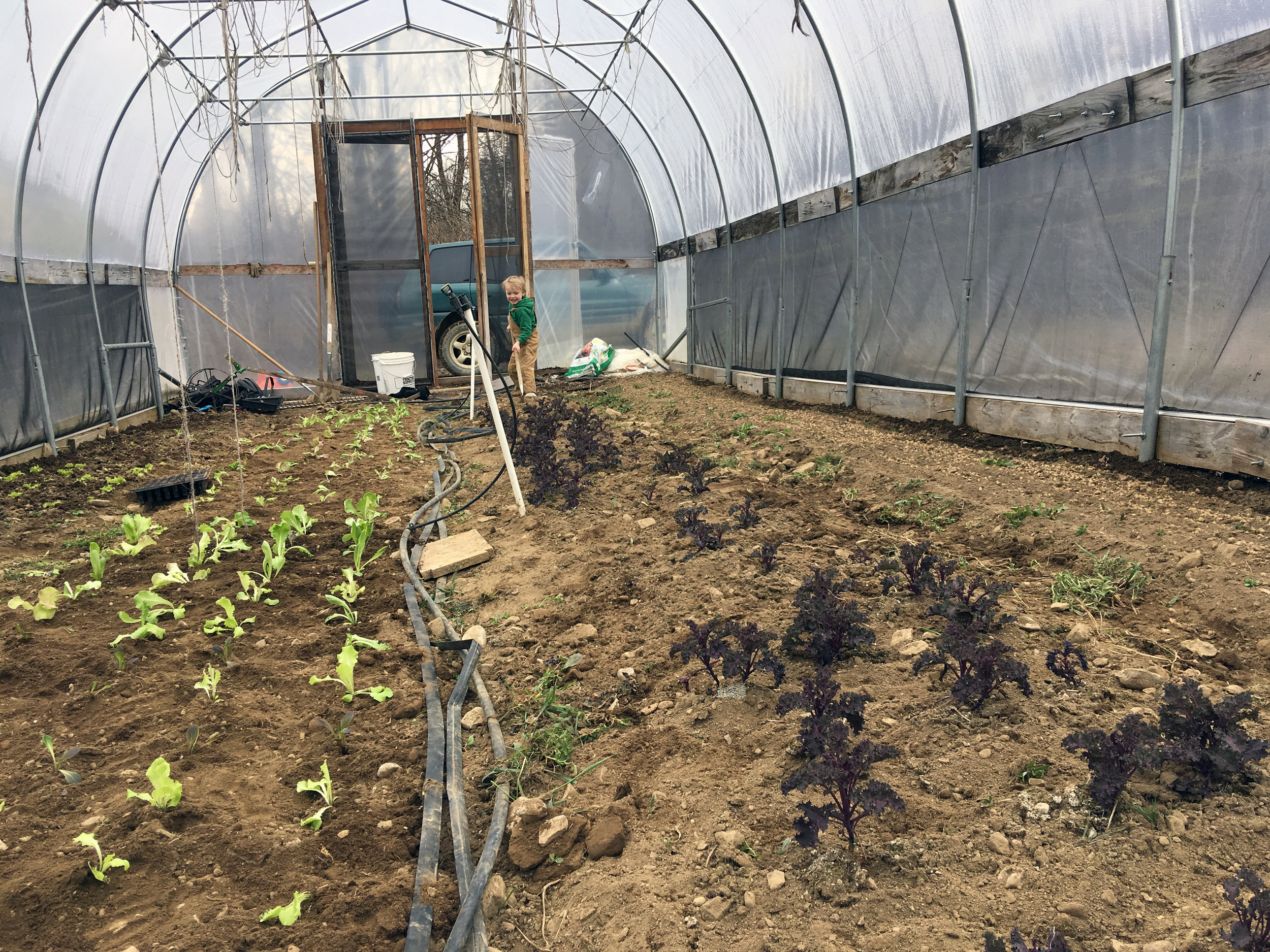 Silas helps in the little tunnel. All of the lettuce was started from seed under grow lights in our basement. We have much better luck with transplanting lettuce than we do with direct seeding it.