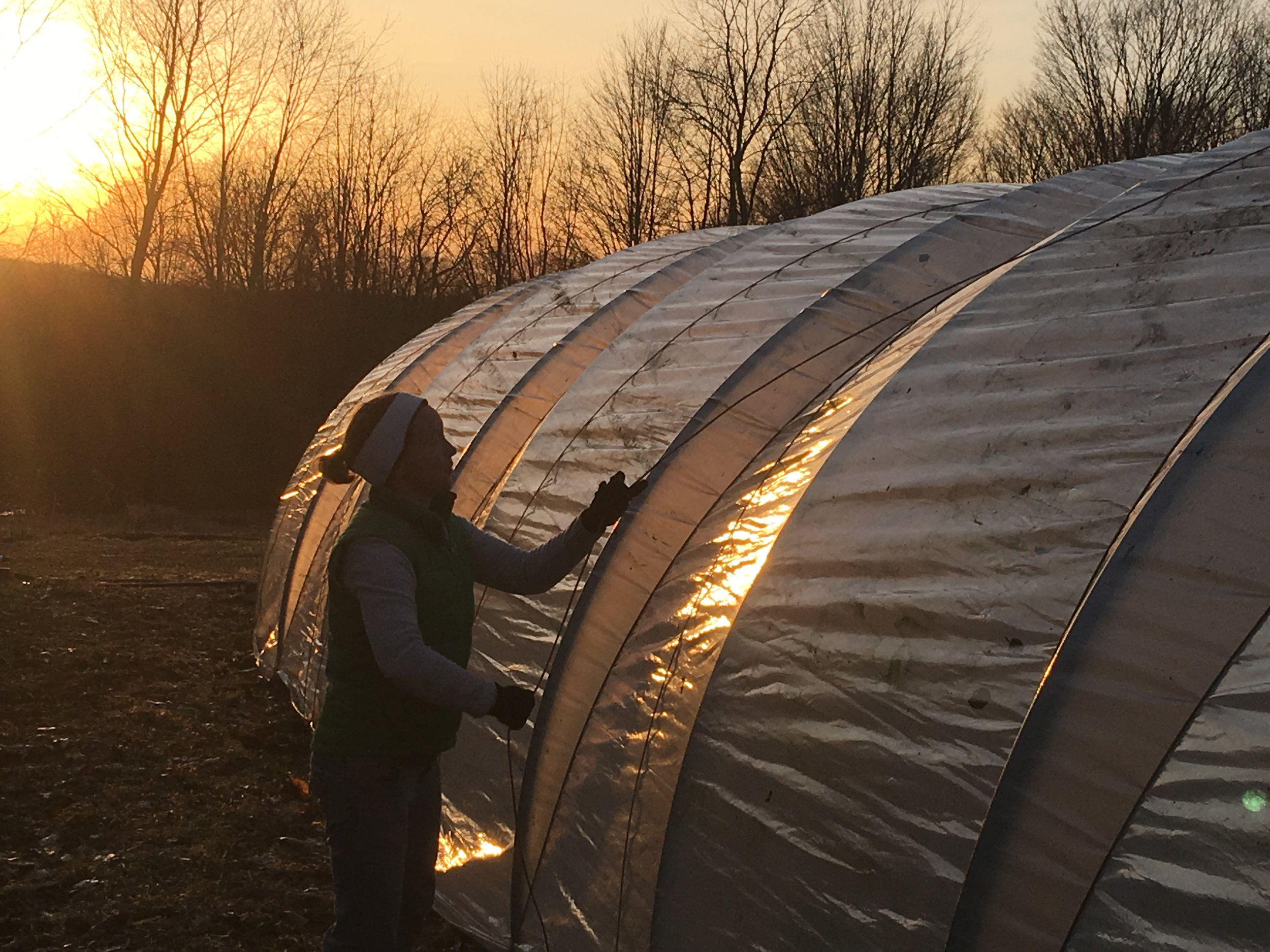In addition to the little high tunnel and the brand new big high tunnel, we have two caterpillar tunnels. The plastic on the caterpillars is removed each fall because the hoops can't support snow. Thanks to a perfectly still evening, Angelica, Gary, Jason and I had the plastic and rope on one of the tunnels in under two hours.