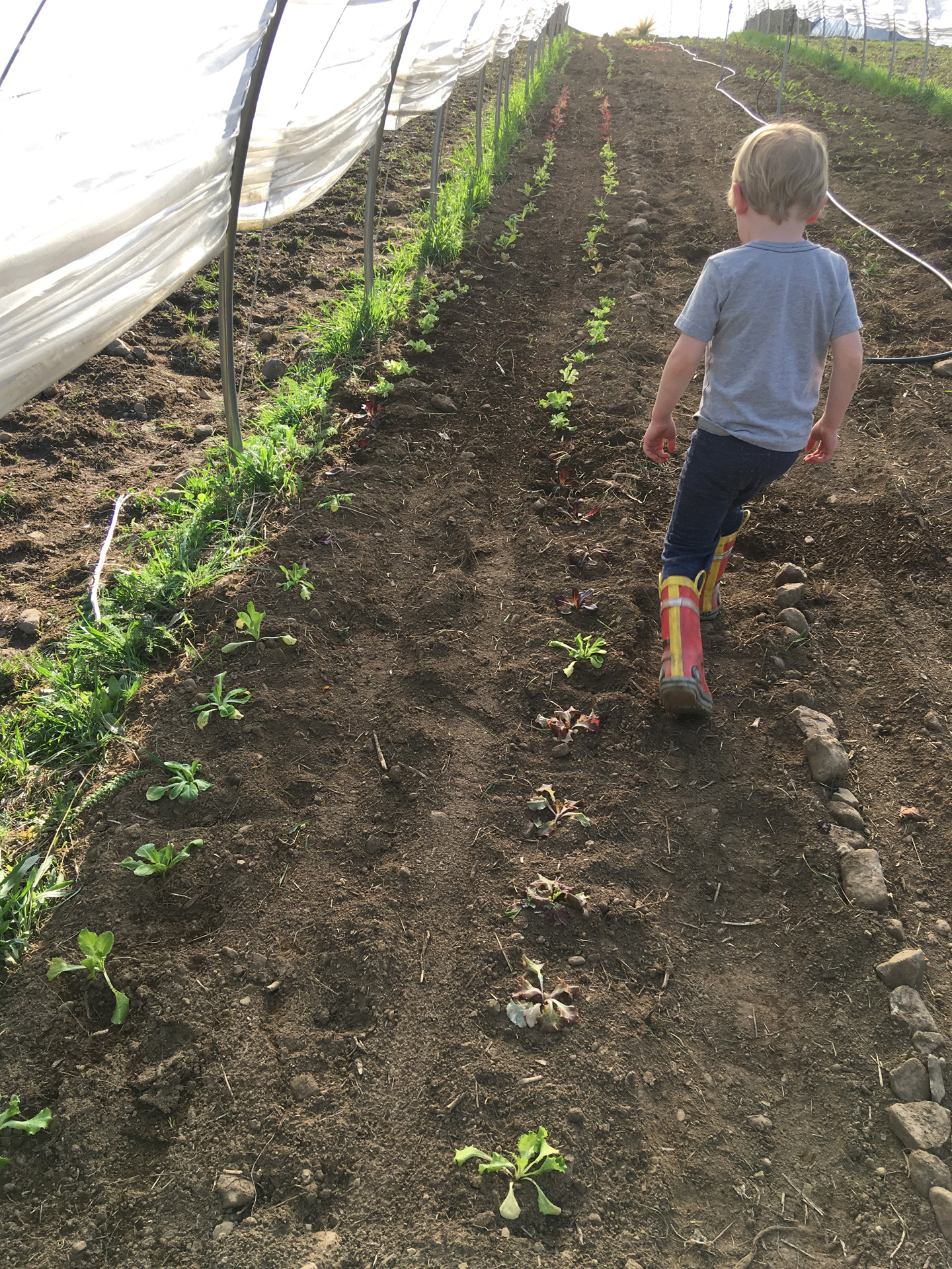 This year, we're maximizing our use of high tunnel space. We planted lettuce down the sides of one row, and seeded radishes in between. Just so you know, Silas walks exactly like his father.