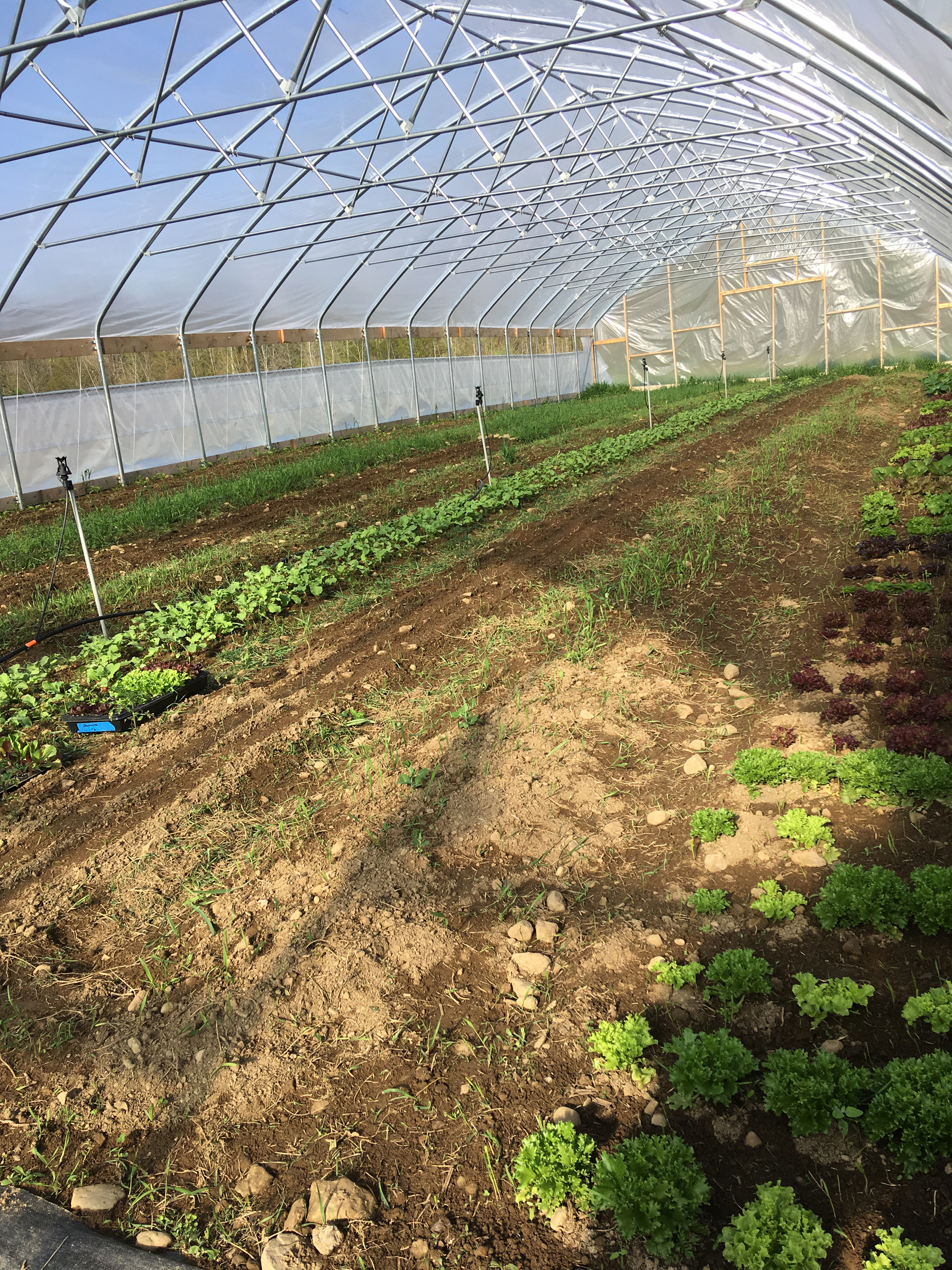 Here's what the Big Tunnel looks like in early May. On the far right, is head lettuce. Beside the lettuce, are two rows of peas. Our first pea attempt didn't germinate well. We replanted the peas, and this time soaked the seeds in water for a few days. The other rows have tomatoes, beets, carrots, and peppers.