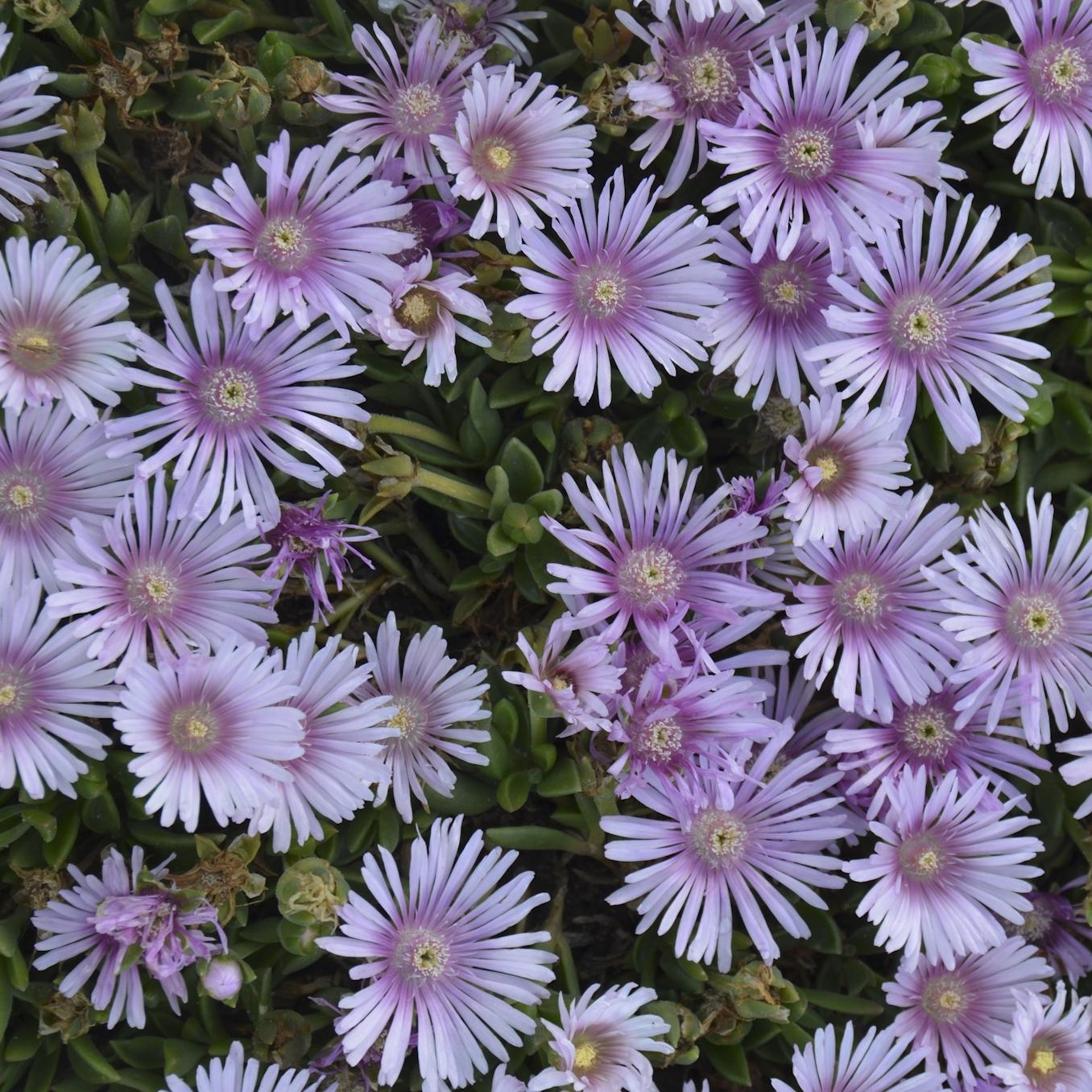 Lavender Ice -