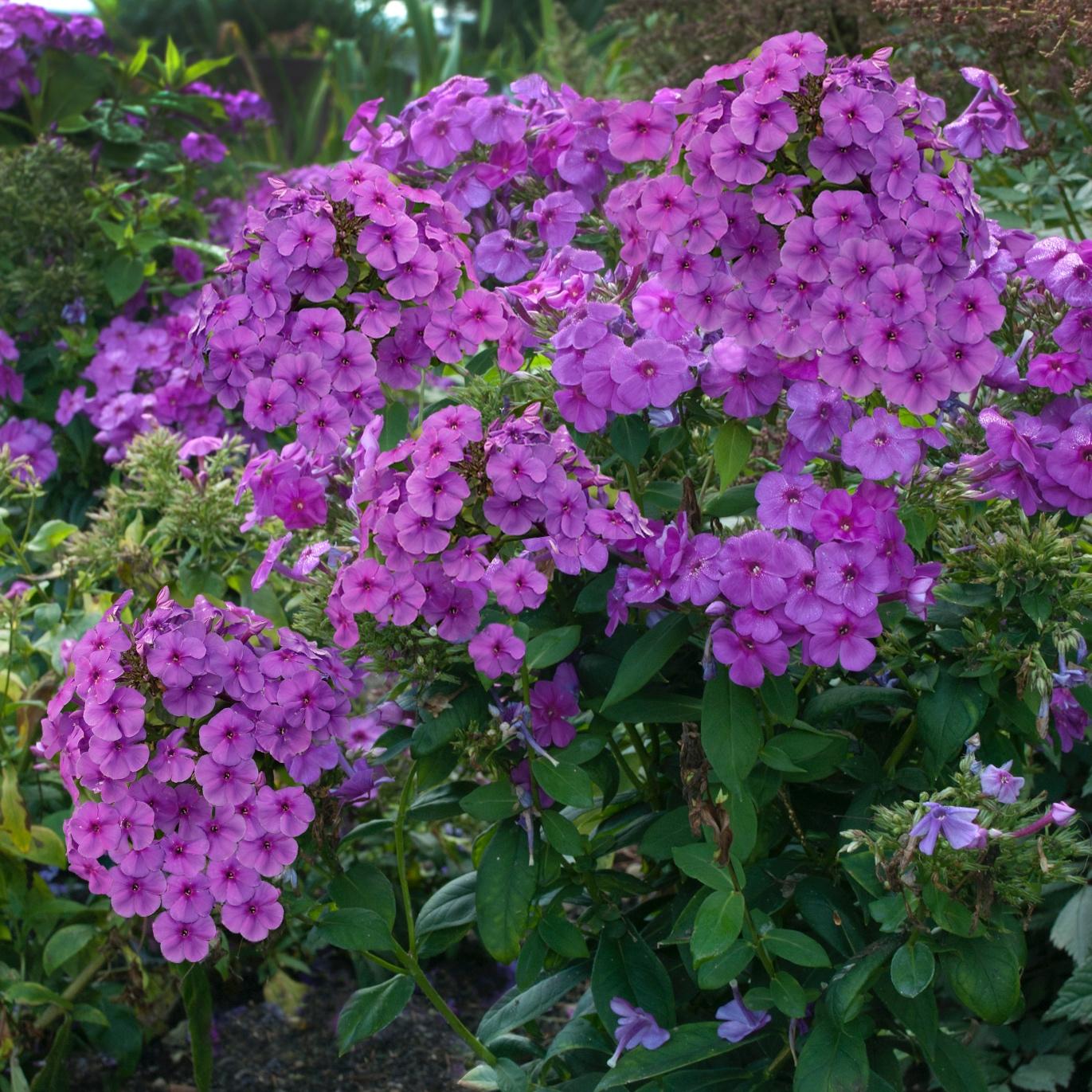 Flame Purple -