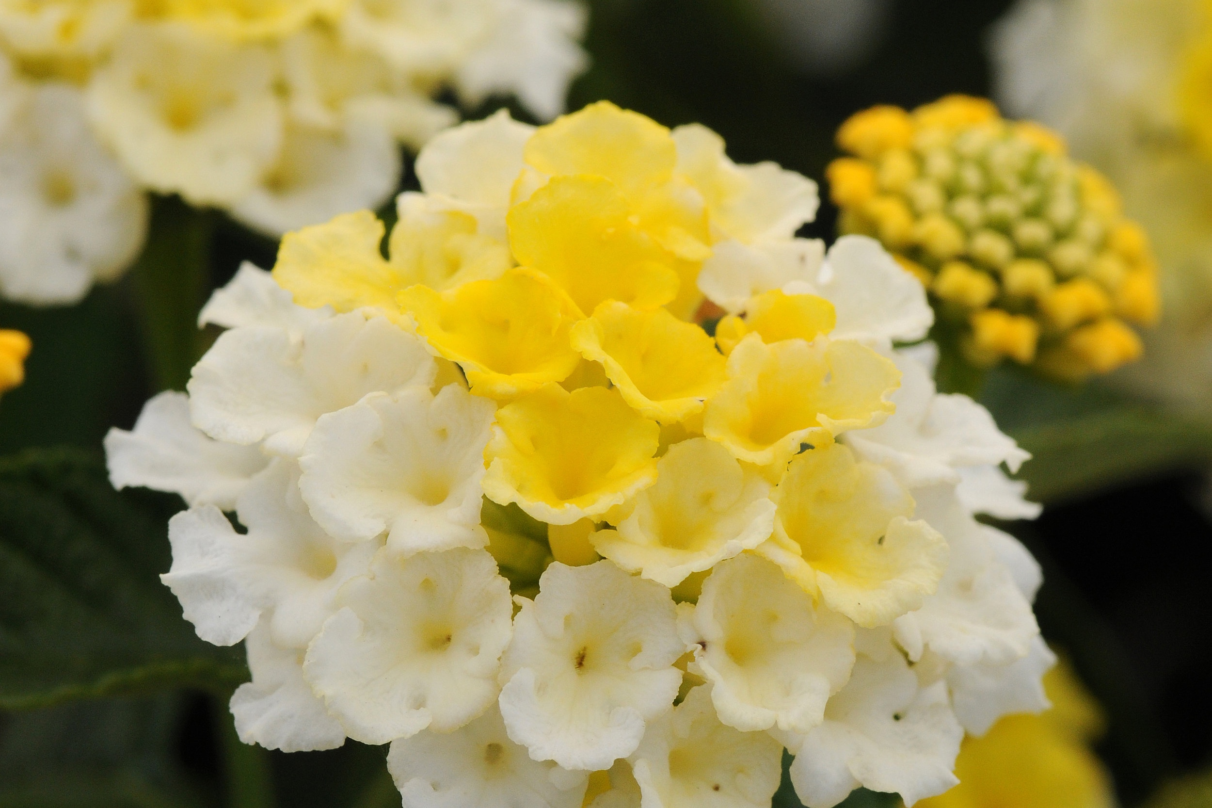 Lemon Glow -