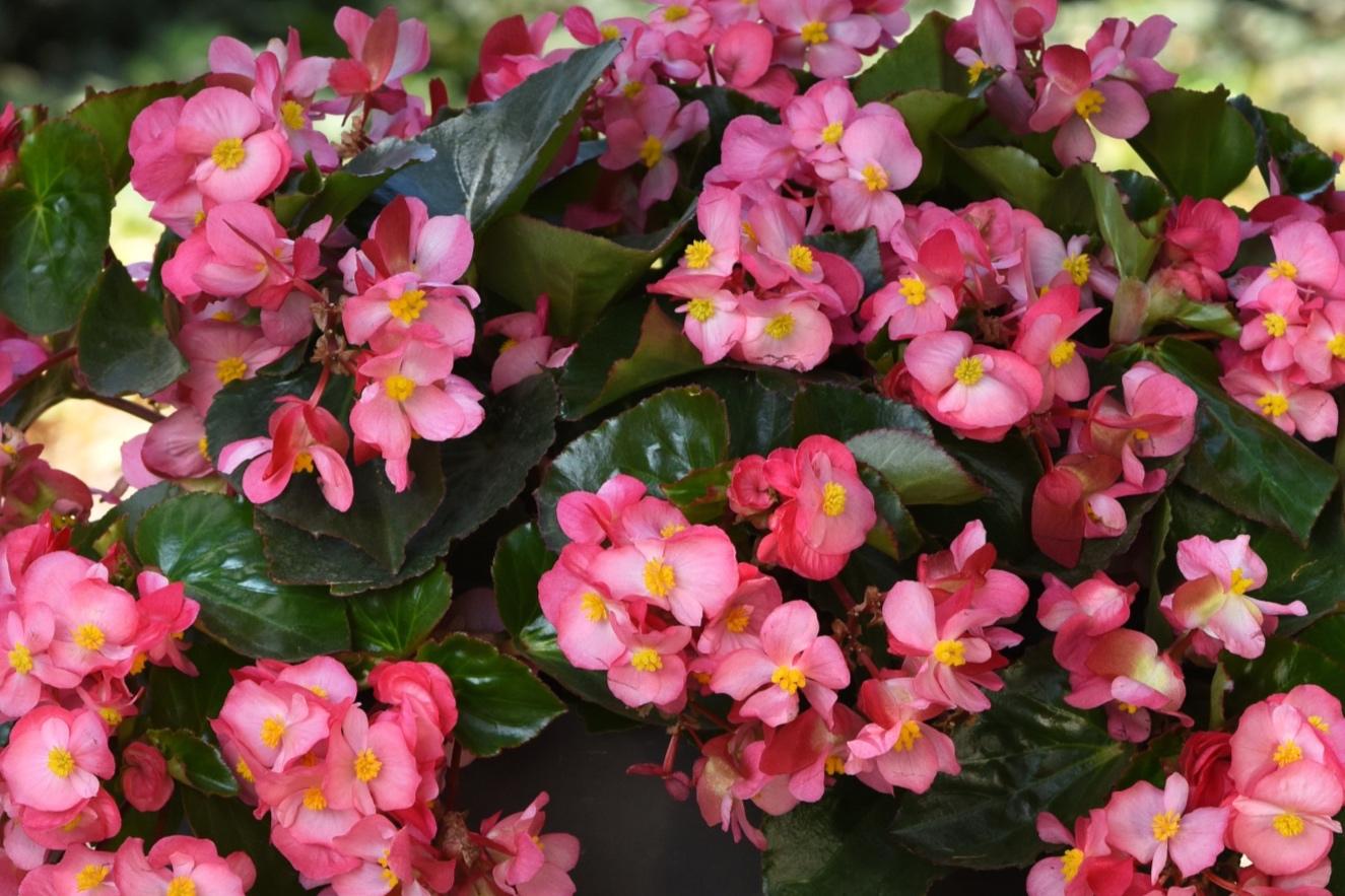Pink w/Green Leaf -