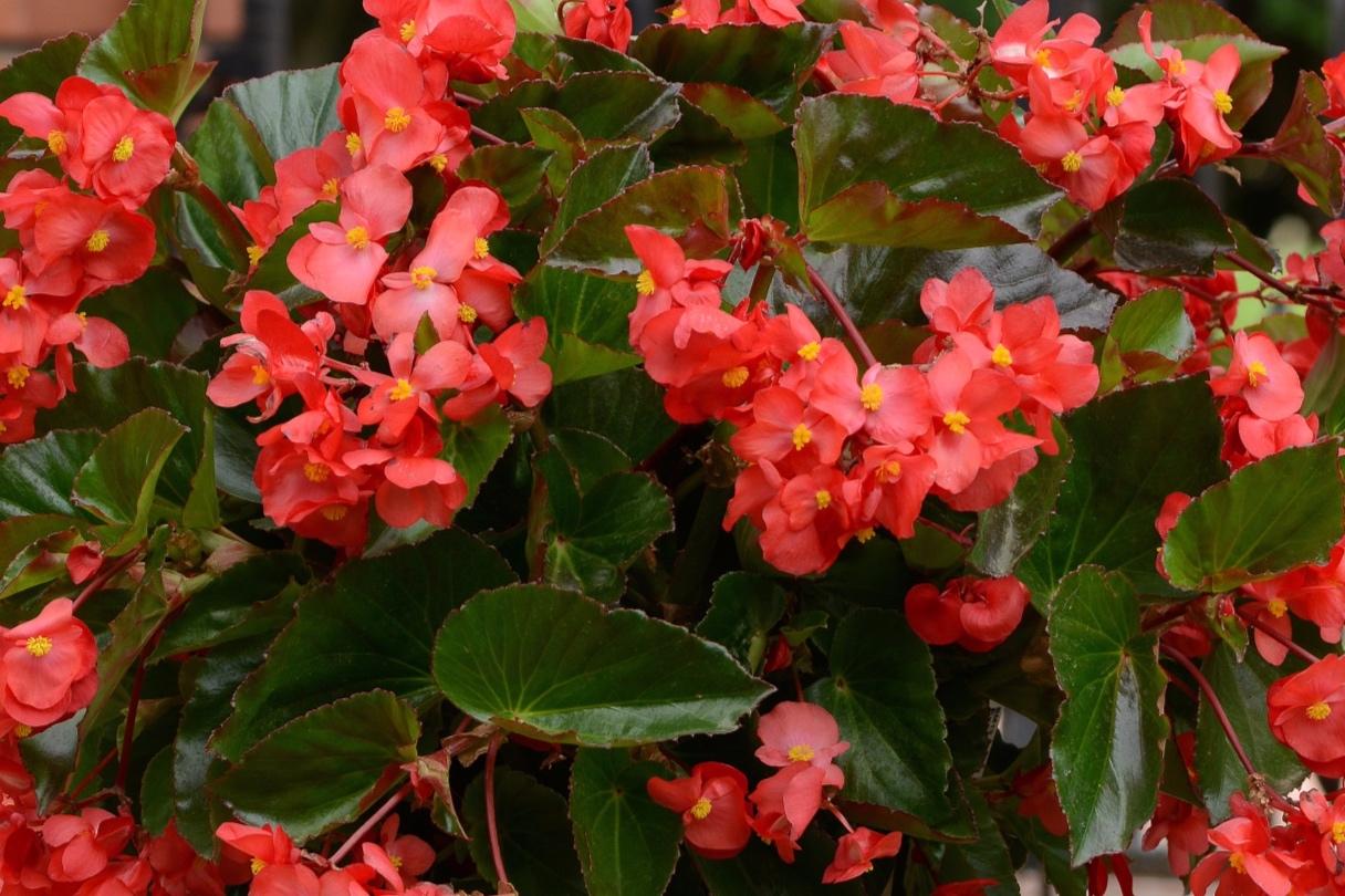 Red w/Bronze Leaf -