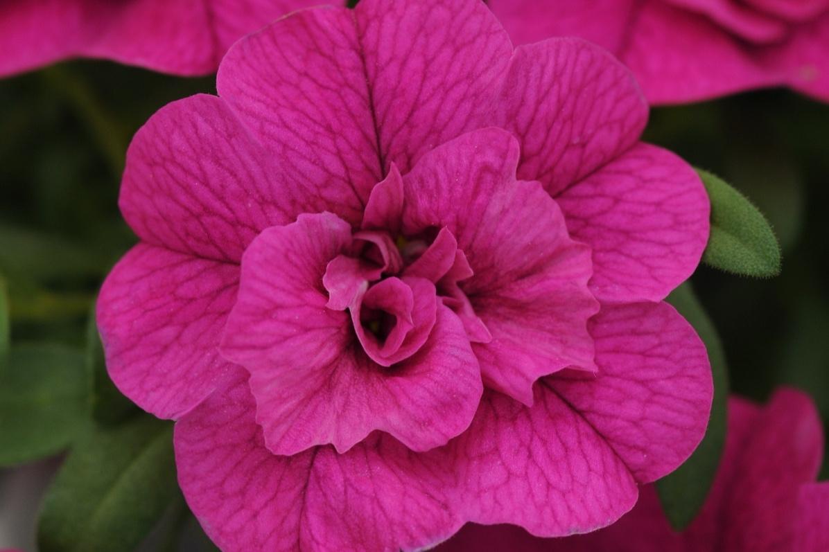 Dbl Purple -