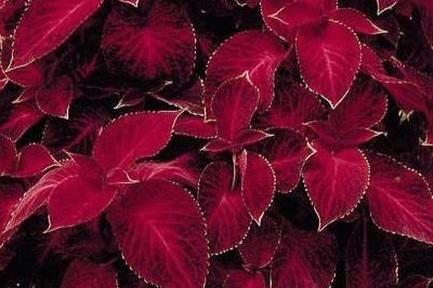 Velvet Red -