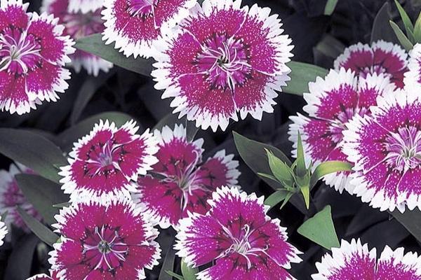 Purple Picotee -