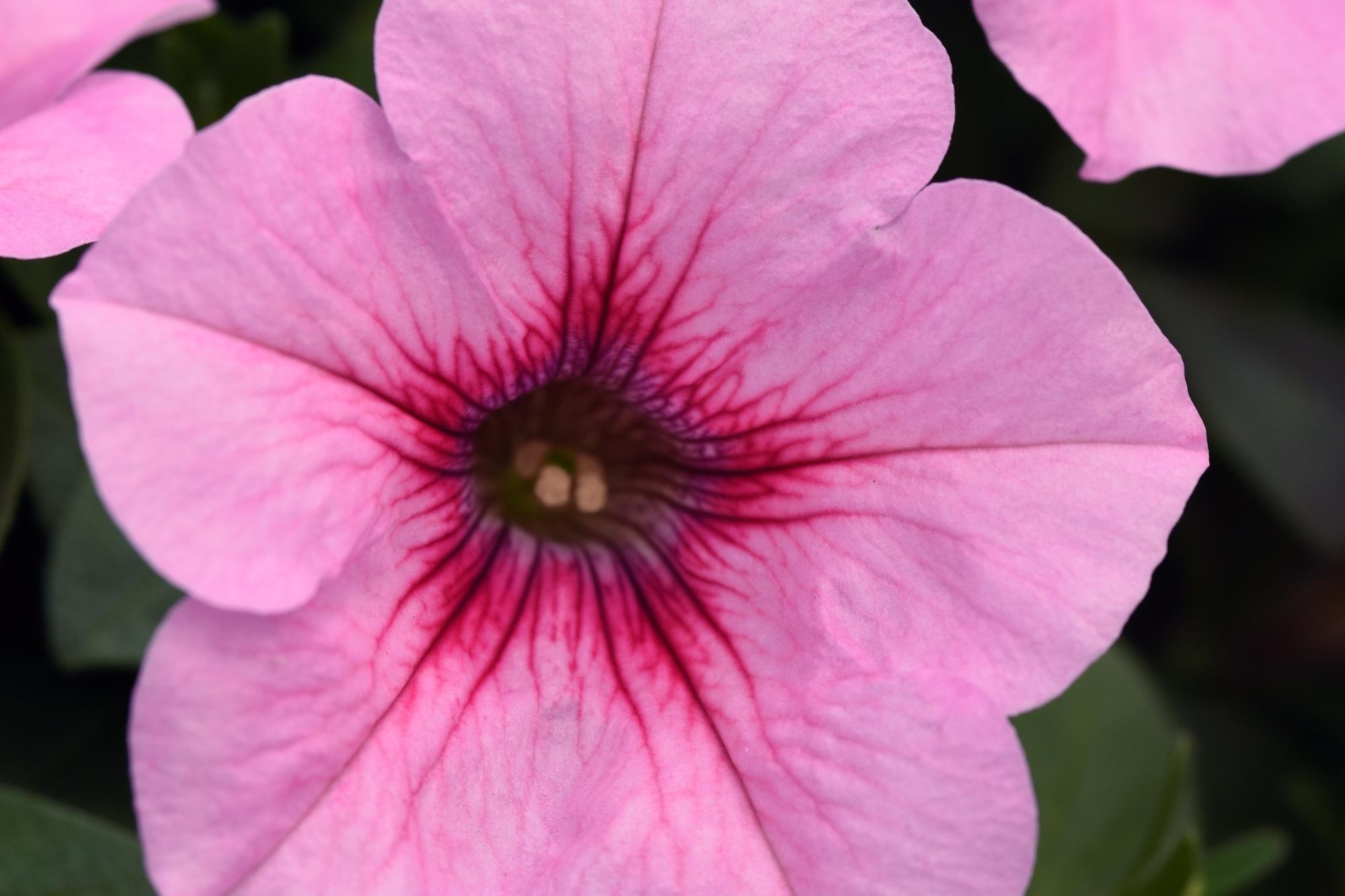 Pink Vein -