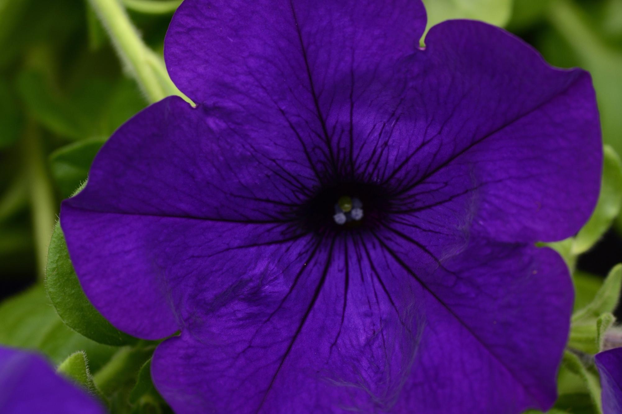 Violet -
