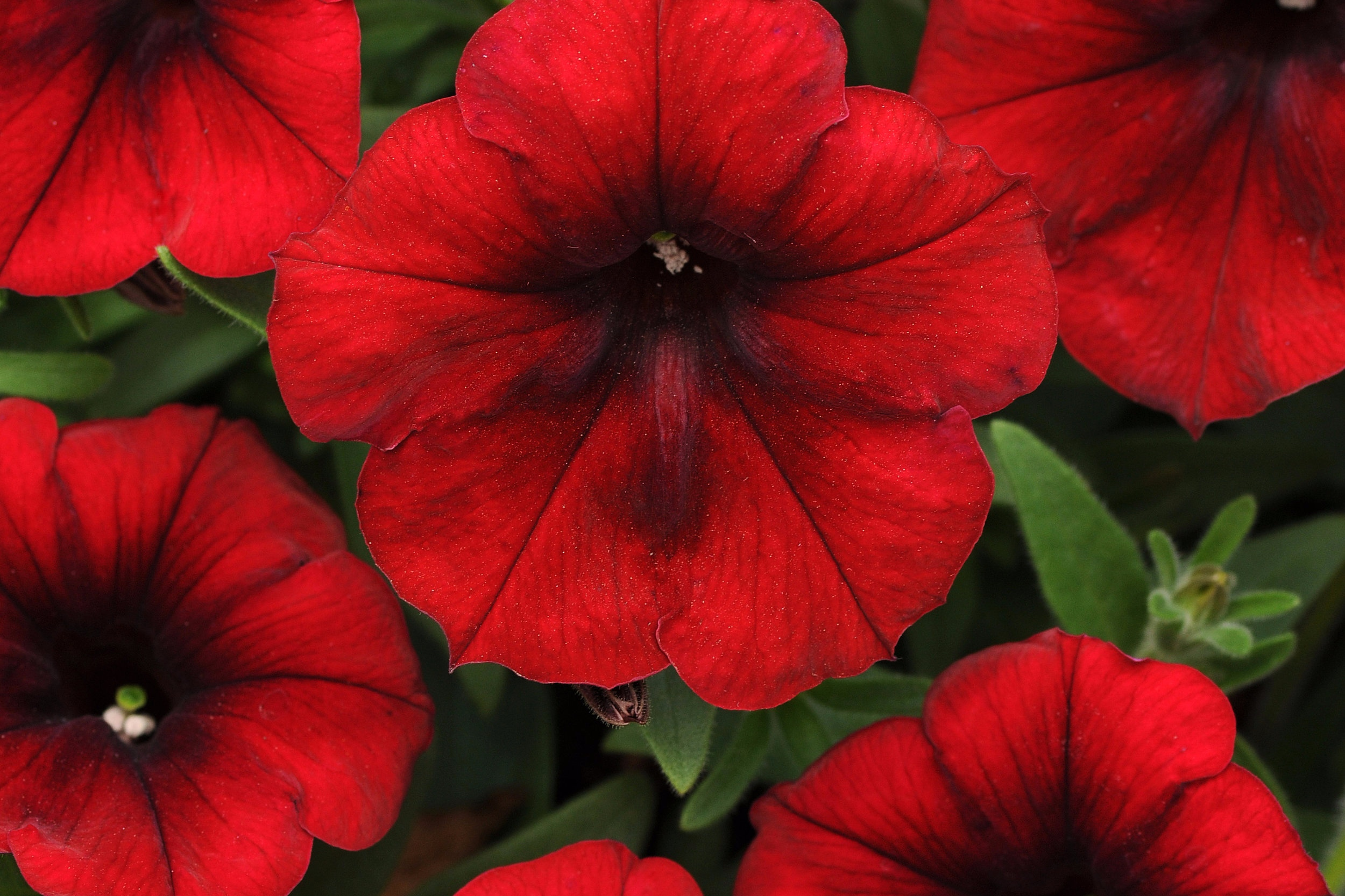 Red Velour -