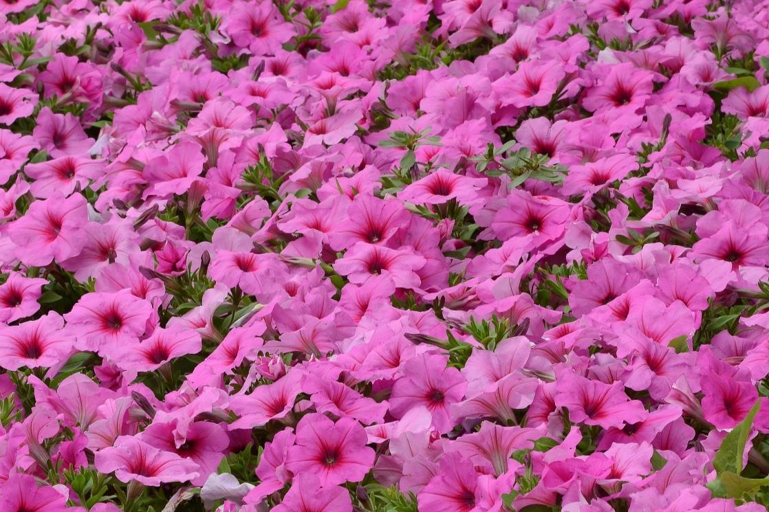 Pink Passion -