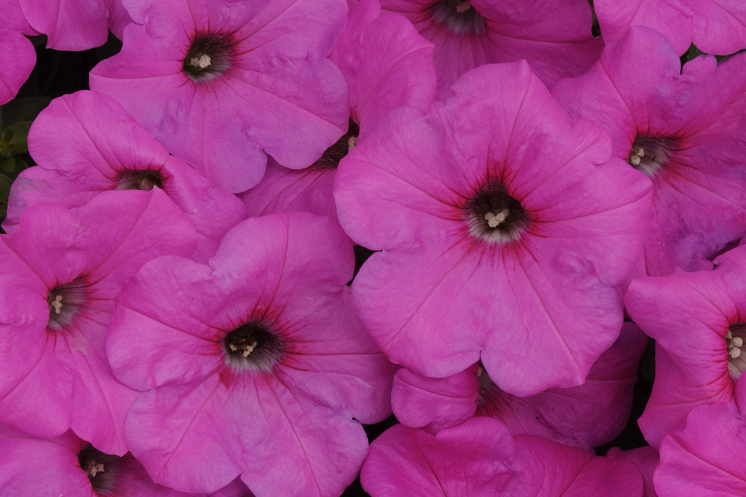 Neon Rose -
