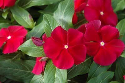 Cranberry -