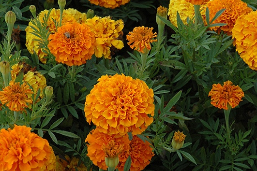 Orange Ladty -