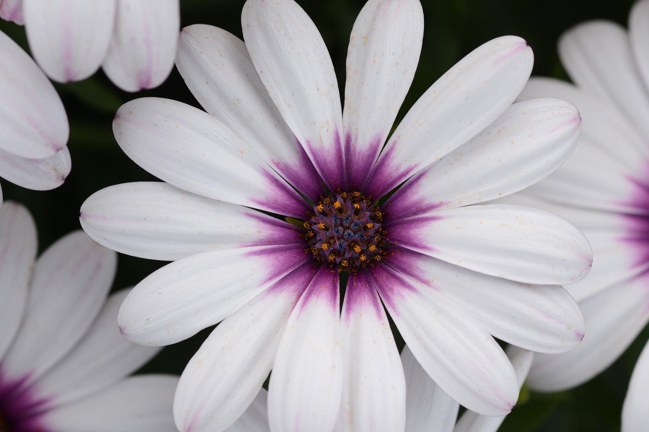 Lavender frost -