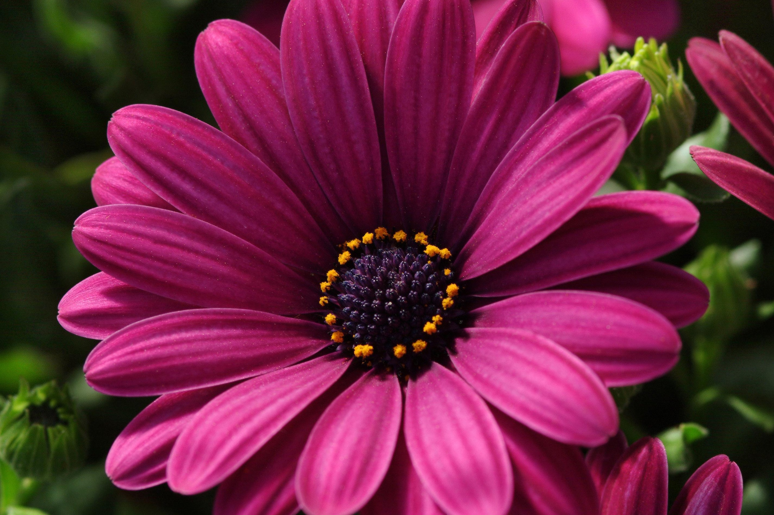 Purple Dark -