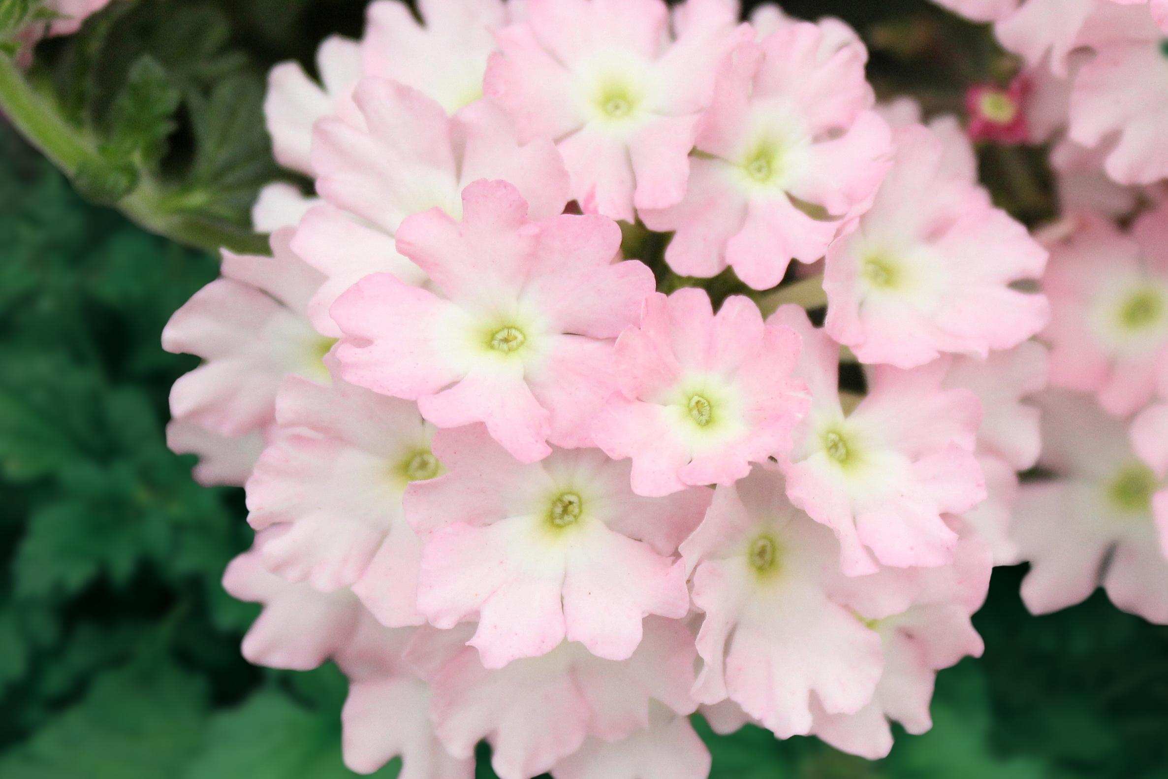 Pink Light -