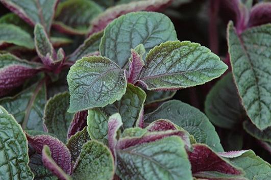Red Swedish Ivy -