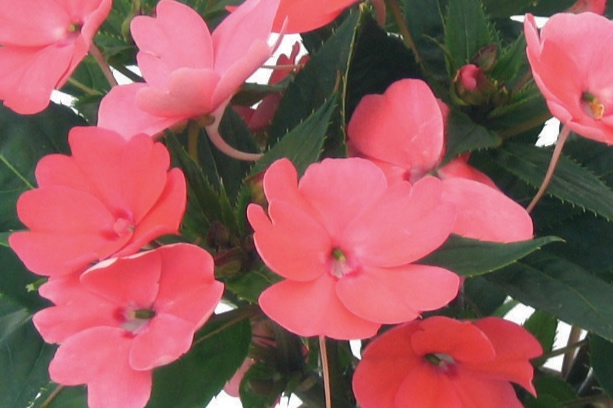 Coral Pink -