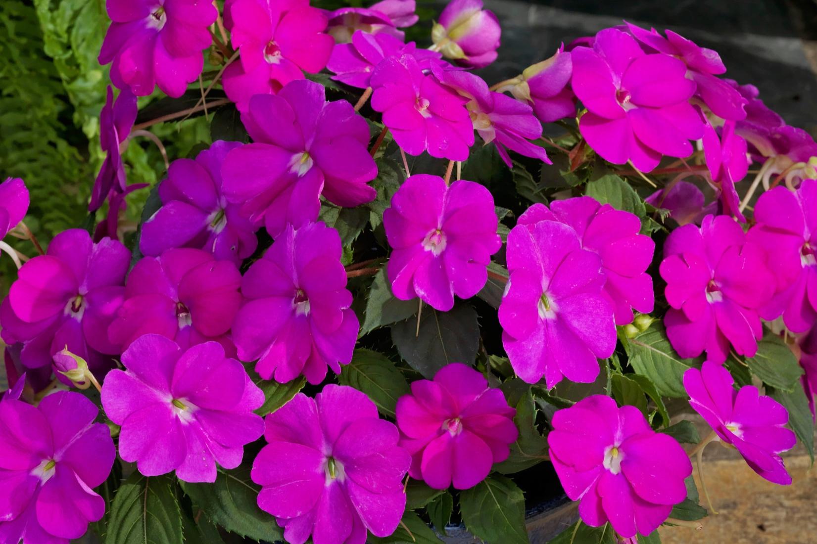 Neon Pink -