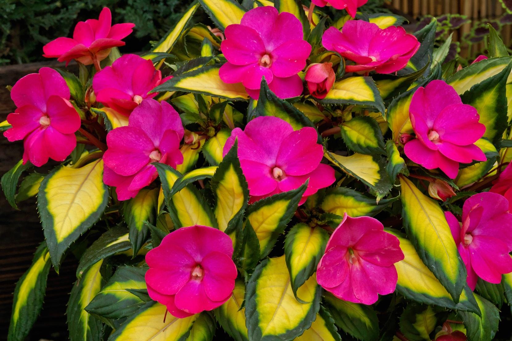 Tropical Rose -