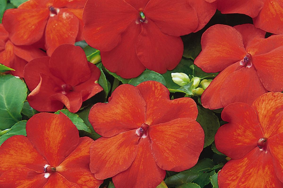 Orange Bright -