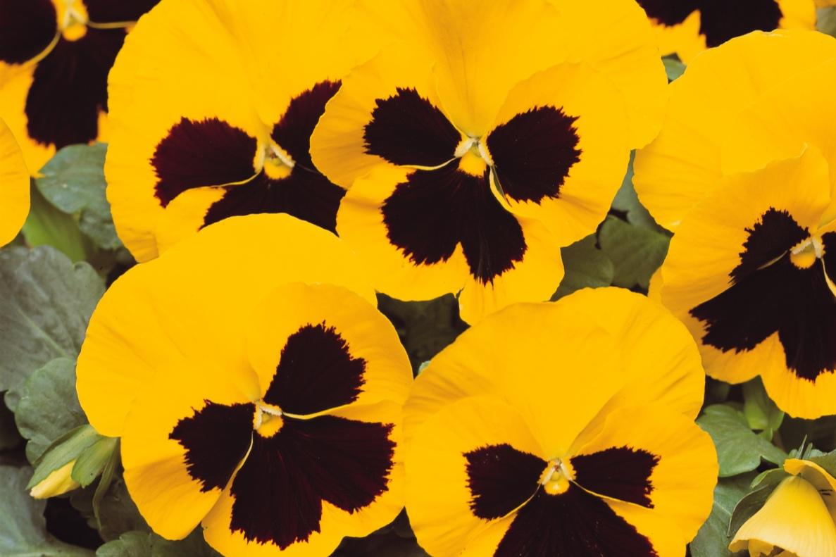 Yellow Blotch -