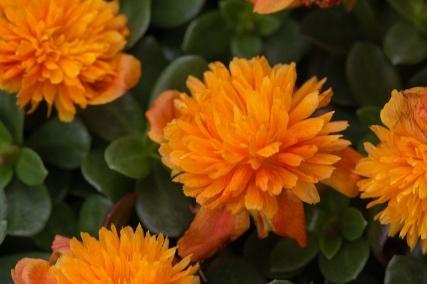 Dbl Orange -
