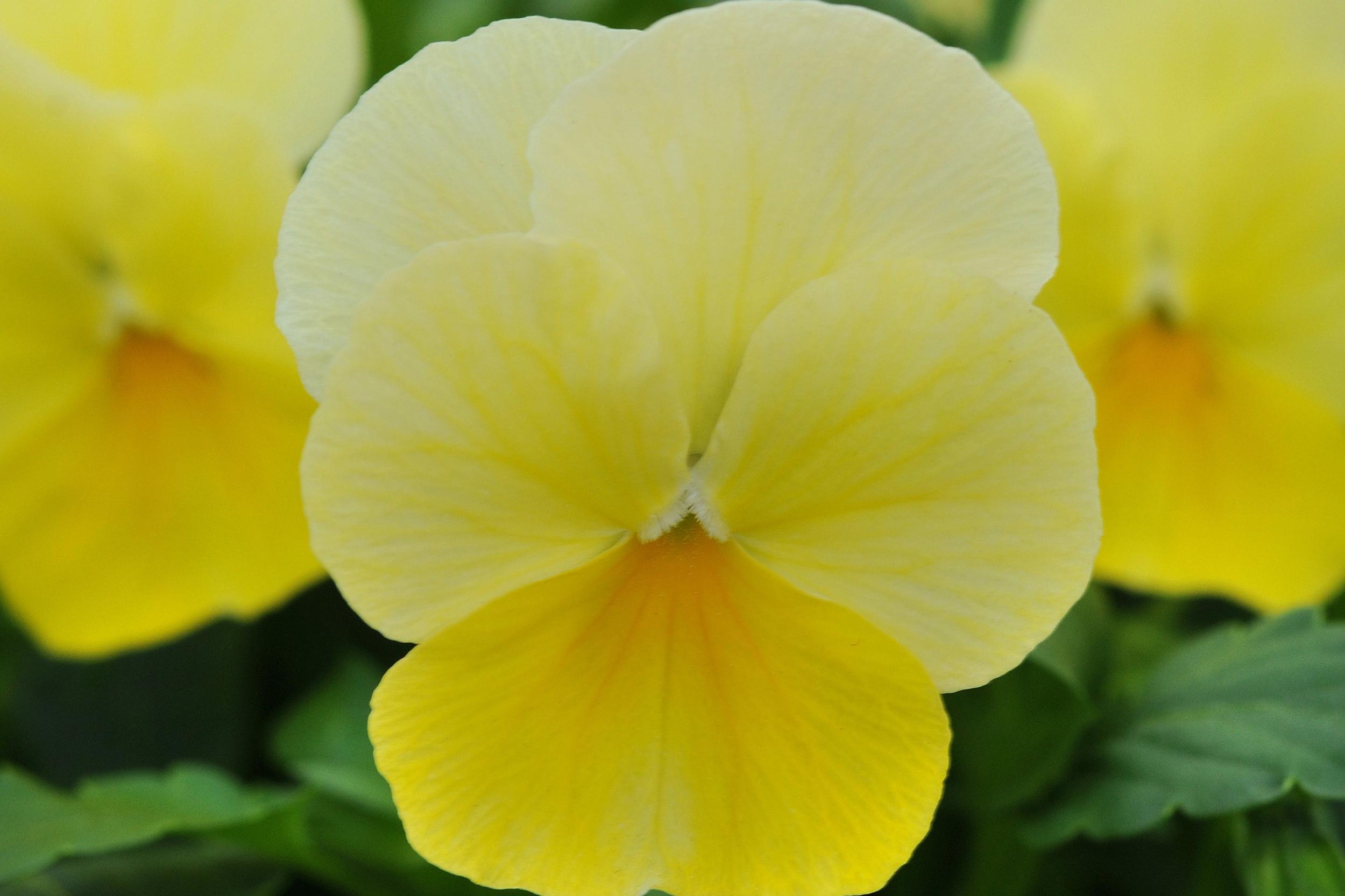 Lemon Chiffon -