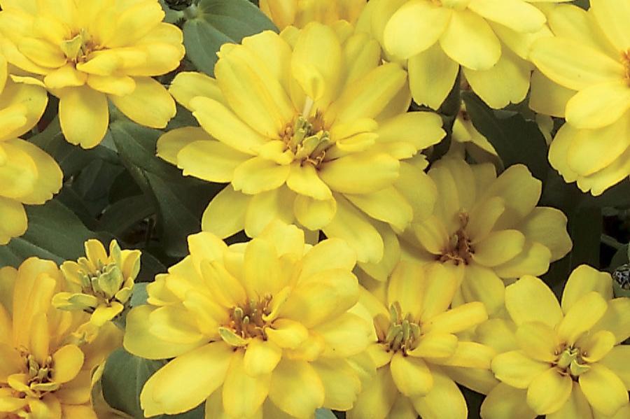 Dbl Yellow -