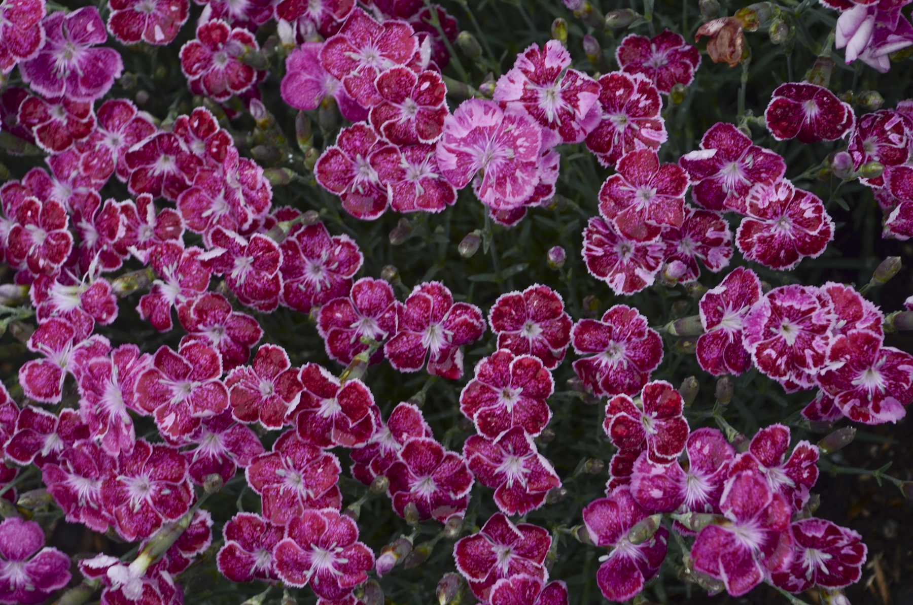 Dianthus_Fire_and_Ice_Bloom_10589.jpg