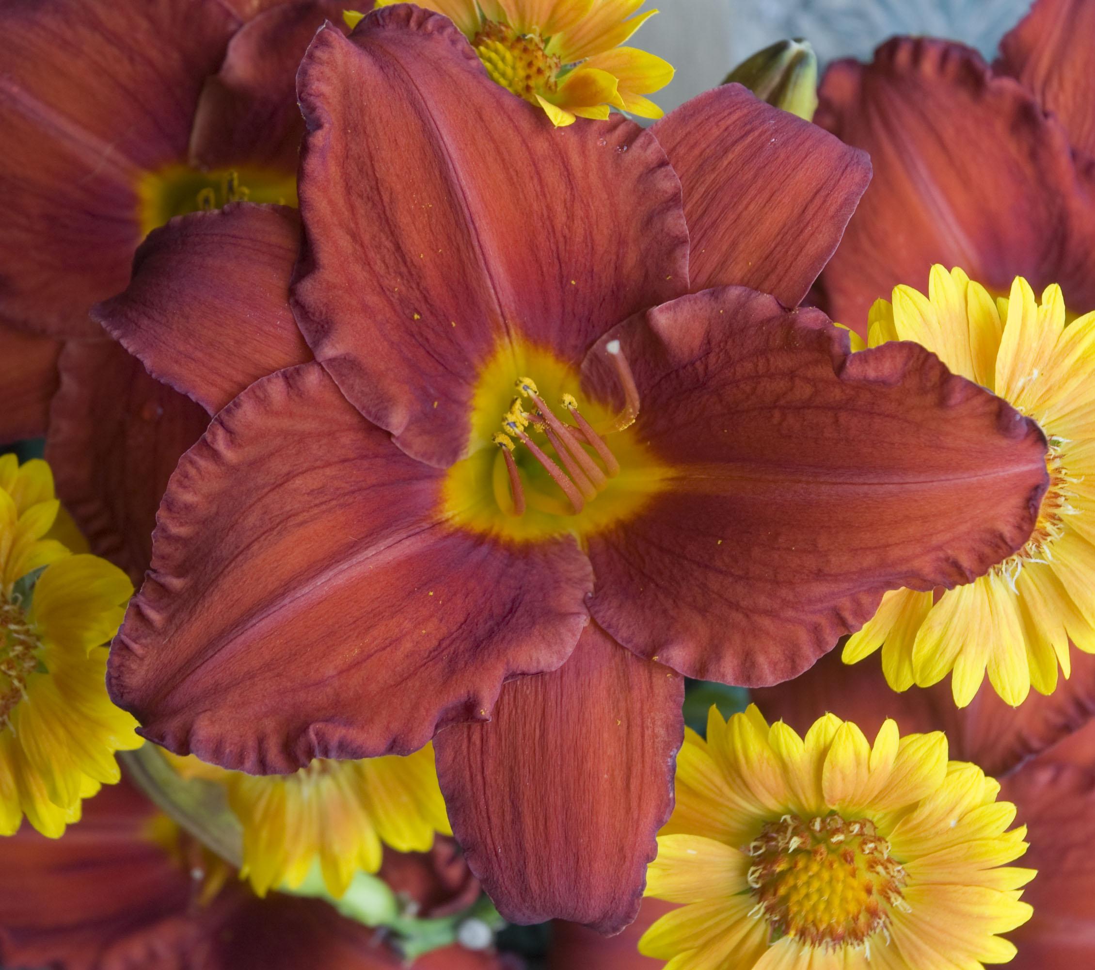 Hemerocallis_Chicago_Apache_Bloom_10692.jpg