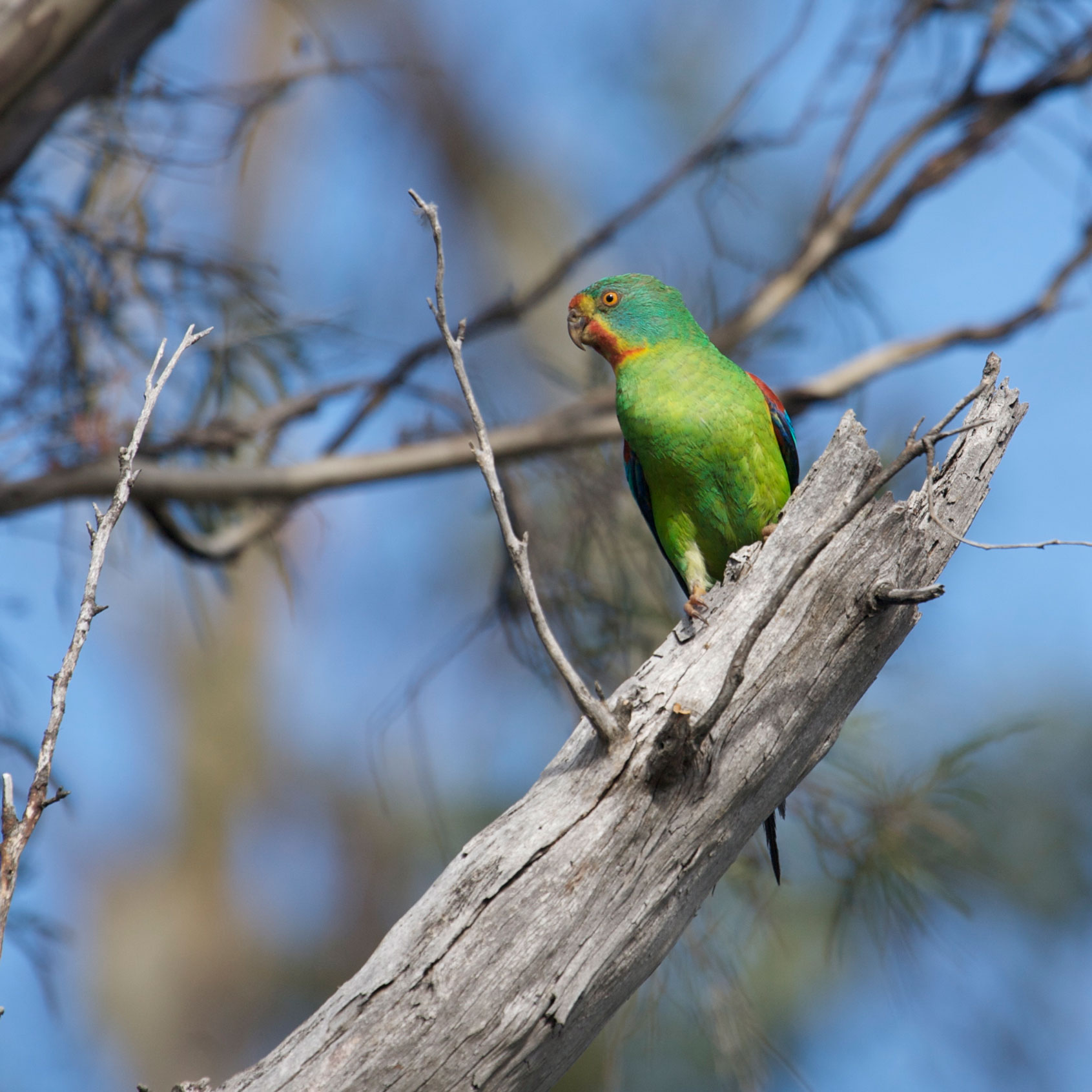 swift-parrot-female-at-nest-(1).jpg
