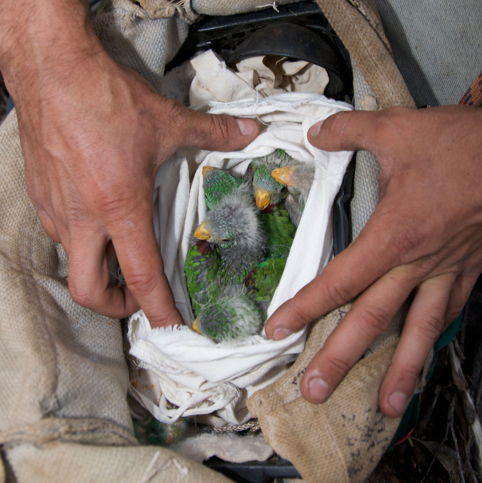 swift-parrot-bag-of-babies.jpg
